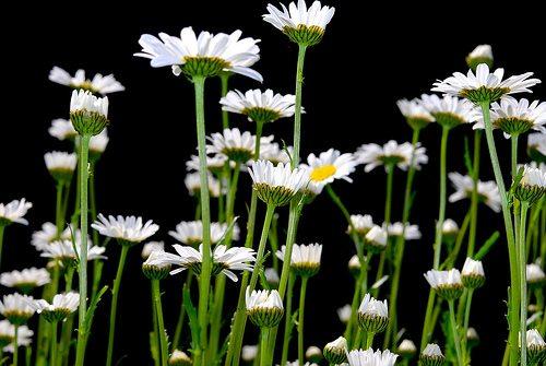 Flowers Flash Horiz